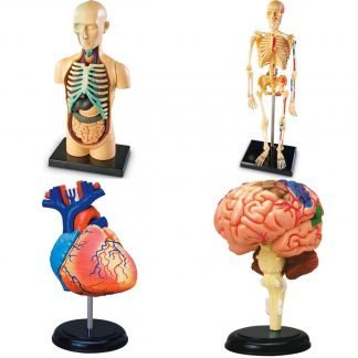 Modelos Anatómicos Humanos